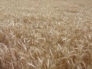buğday başakları