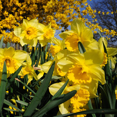 Beautiful daffodils in spring garden