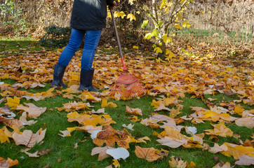 worker rake autumn dry tuliptree leaves in garden