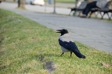 big crow hold breadcrumbs in beak at city park