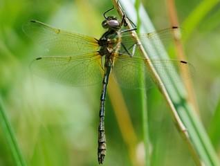 Oxygastra curtiisi, male