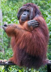Male orangutan in the wild