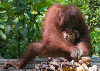 Female orangutan eating bananas in the wild