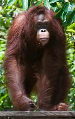 Young male orangutan in the wild