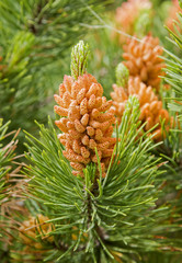 Close up flowering pine tree