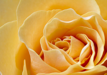 Close up beautiful peach color rose © scphoto48