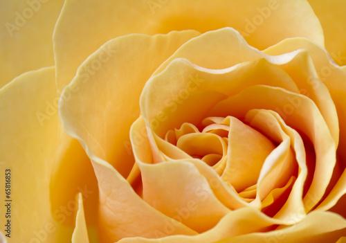 canvas print picture Close up beautiful peach color rose