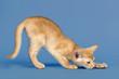 Katzen-Abessinier 0453