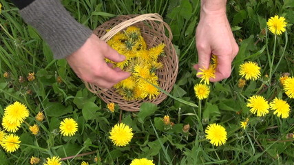 pick fresh spring dandelion flower for healthy food