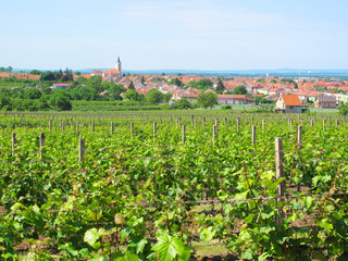 Vineyard over town Velke Bilovice, South Moravia.