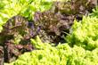 Lettuces,