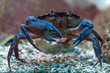 Leinwandbild Motiv Crab underwater