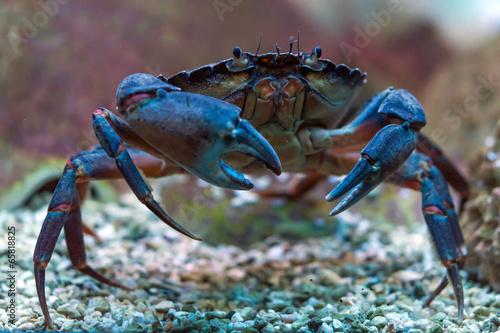 Crab underwater - 65818825