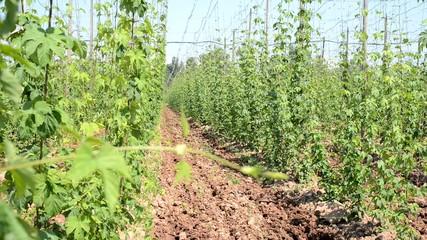 hop garden in vegetation, rack focus