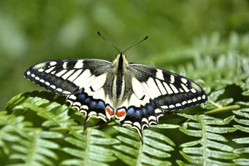 Farfalla su felce
