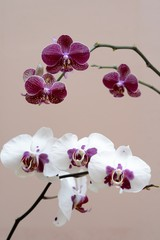 red and white orchid isolates