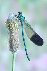 Calopteryx syriaca (male)