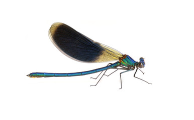 Dragonfly Calopteryx splendens (male)