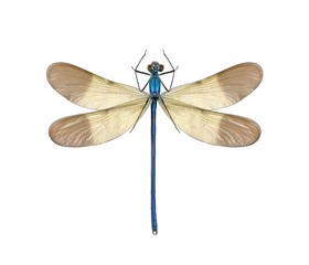Dragonfly Calopteryx syriaca (male)