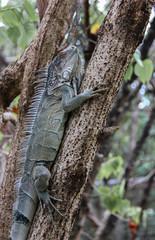 Camoflauged iguana in St Martin