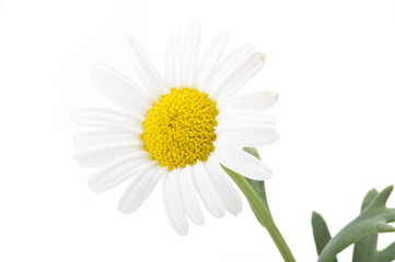 beautiful flower daisy on white background