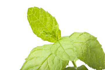 Leaves of mint close up on white