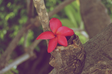 Red plumeria place on tree vintage style