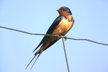 Barn Swallow on a fence