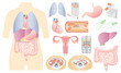人体 内蔵図