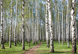 Spring birch forest in the morning