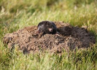 Mole in molehill