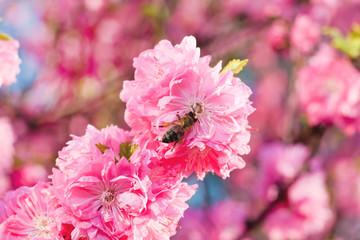 Bee on sakura flower