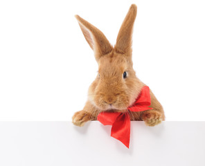 Rabbit with blank