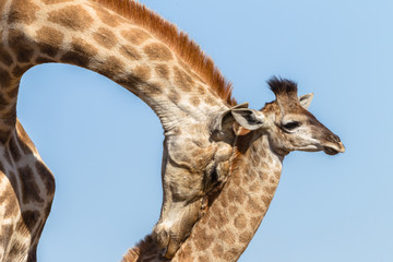 Giraffe Mother Affections Calf Wildlife Animals