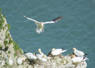 Nesting gannets on a cliff headland