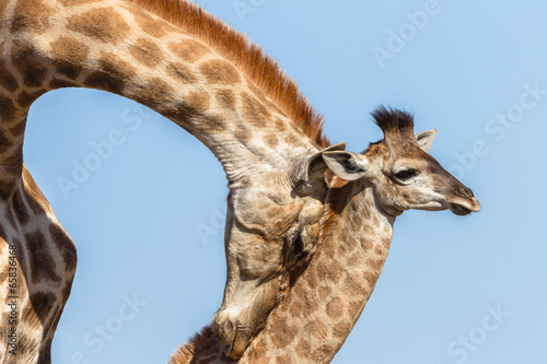 Staande foto Giraffe Giraffe Mother Affections Calf Wildlife Animals