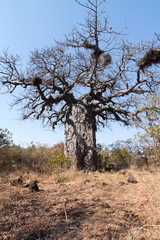 Large Baobab tree with birds nests