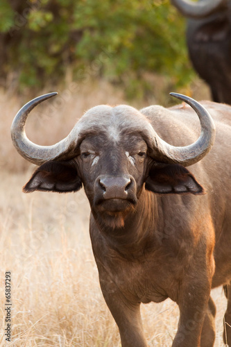 Foto op Aluminium Buffel Large Buffalo cow with big horns