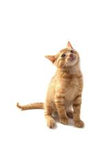 Red kitten