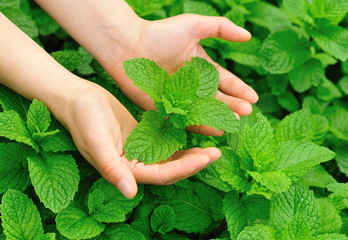 hands protect mint plants in vegetable garden
