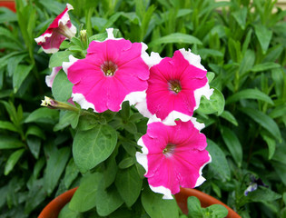 Decorative Flower Petunia