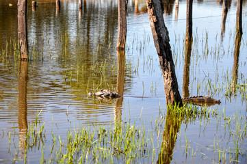 Yacare caiman, Pantanal, Mato Grosso  do Sul(Brazil)