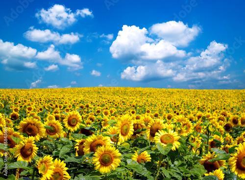 Fotobehang Zonnebloemen sunflower field