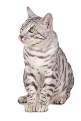 Sitzende Bengalkatze von vorne blickt seitlich
