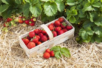 Erdbeerfeld mit reifen Erdbeeren
