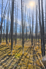 Dead trees in Yellowstone National park