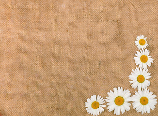camomile on light natural linen texture background