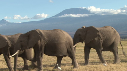 elephants walking with the background of mt kilimanjaro