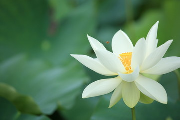 beautiful lotus blooming in pond