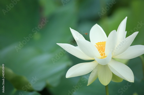 Staande foto Lotusbloem beautiful lotus blooming in pond